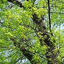 セイヨウトネリコ樹皮エキス